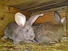 Кролики-великаны бельгийский фландр